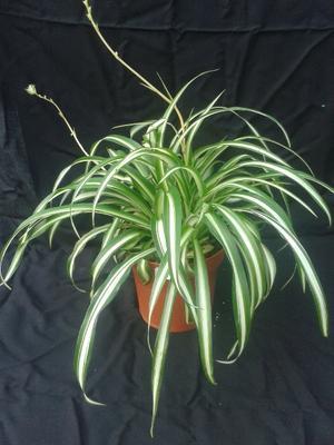 Chlorophytum (panašovaný zelenec) - 1