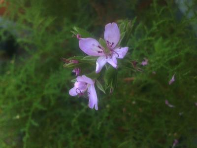 Pelargonium denticulatum - 1