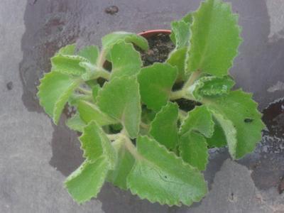 Rýmovník (Plectranthus amboinicus) - 1