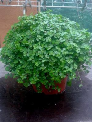 Soleirolia soleirolii (zelená) - 1