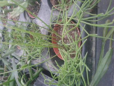 Rhipsalis cassutha - 1