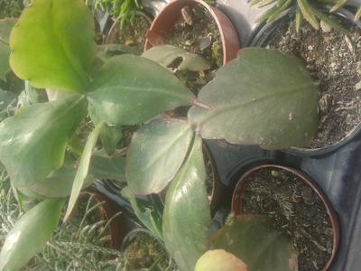 Rhipsalis pachyptera v. pachyptera - 1