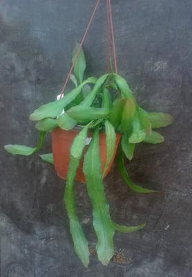 Chiapasia nelsonii - velká rostlina - 1