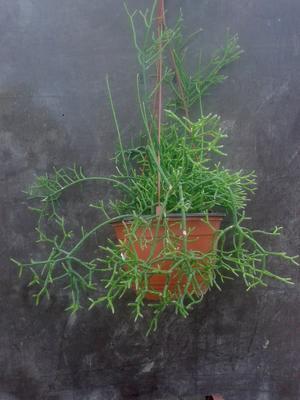 Rhipsalis cereuscula - velká rostlina