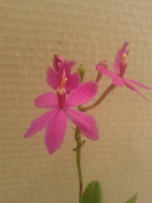 "Epidendrum Pretty Princess ""Miss Mesumi"" - 1"