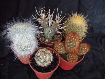 sada 5 různých kaktusů - 1