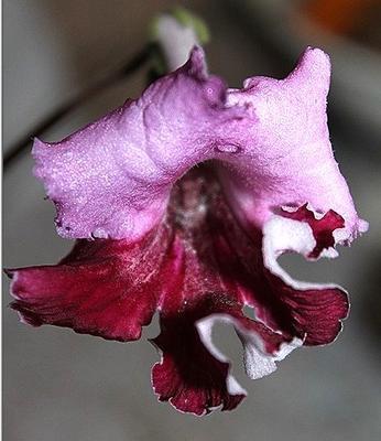 Streptocarpus '6099'