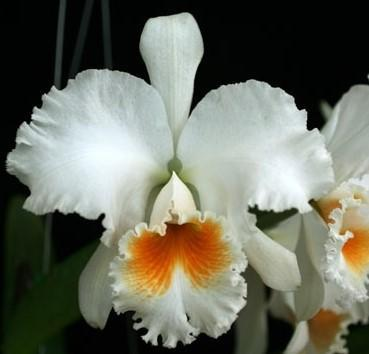 Blc. Eagle Eye 'All Victory' - 1