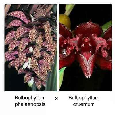 Bulbophyllum phalaenopsis x Bulbophyllum cruentum - 1