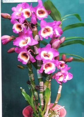 (D.Sachi'morchen' x D.Super Star'Dandy') 'CT.3' - 1