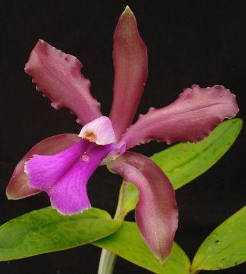 Cattleya bicolor - 1