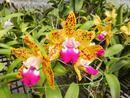 Cattlianthe Siamense Doll 'Kiwi Fruit' - 1/3