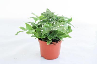 Cyrtomium fortunei 'Clivicola' (kapradina) - 1
