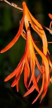 Dendrobium aurantiflammeum - 1