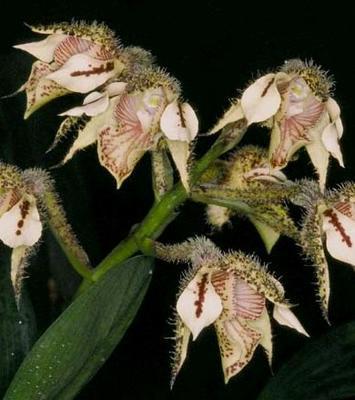Dendrobium finisterrae - 1