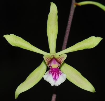 Encyclia mapuerae - 1