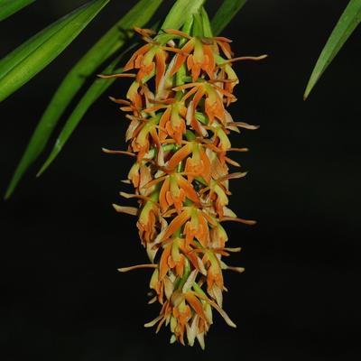 Epidendrum ferrugineum - 1