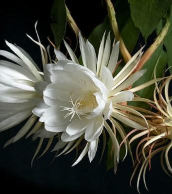 Epiphyllum oxypetalum - 1