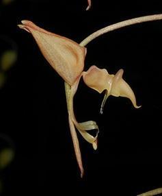 Gongora aromatica - 1