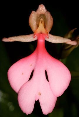 Habenaria rhodocheila 'Pink' - 1
