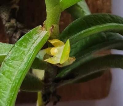 Adenocos parviflora - 1