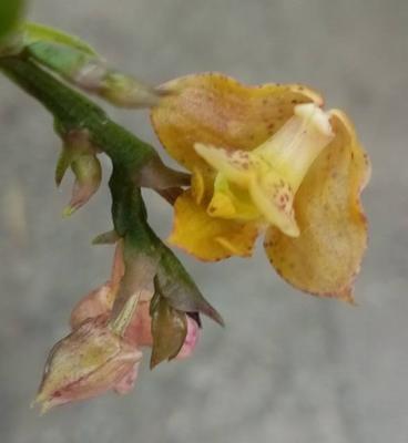 Polystachia maculata - 1