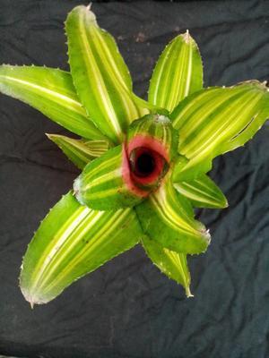 Neoregelia 'Antigone' variegata - 1