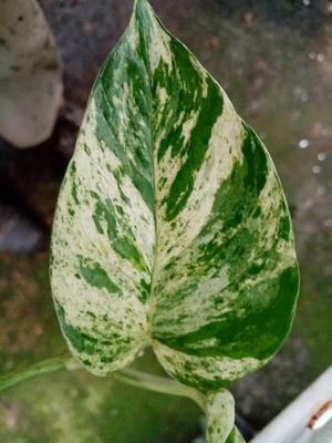 Scindapsus pinnatus 'Marble Queen' - 1