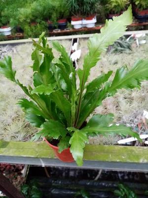 Asplenium nidus 'Fimbriatum' - 1