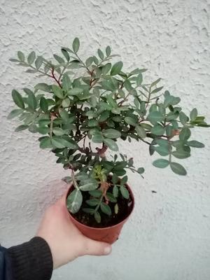 Pistacia lentiscus (Pistáciovník) - 1