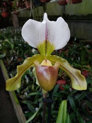Paphiopedilum leeanum - nyní kvetoucí - 1
