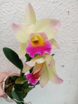 Katleya (Cattleya) - kvetoucí orchidej #9 - 1