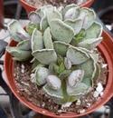 Adromischus cristatus - 1/2