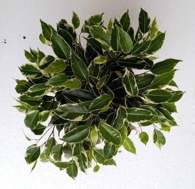Ficus benjamina 'Kinky' - 1