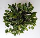 Ficus benjamina 'Kinky' - 1/2