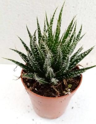 Aloe haworthioides - 1