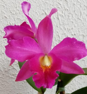 Katleya (Cattleya) - kvetoucí orchidej #11 - 1