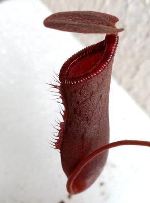 Nephentes sanguinea - 1