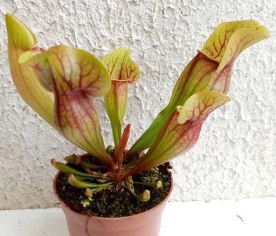 Sarracenia purpurea (hybr.) - 1