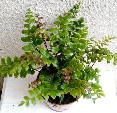 Didymochlaena truncatula (kapradina) - 1