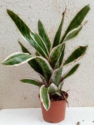 Aechmea orlandiana variegata - 1