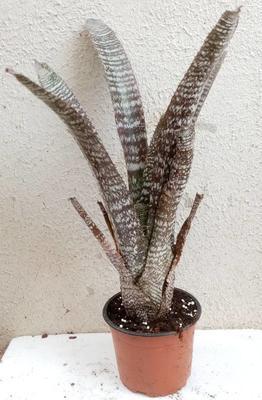 Hohenbergia correia-araujoi - 1