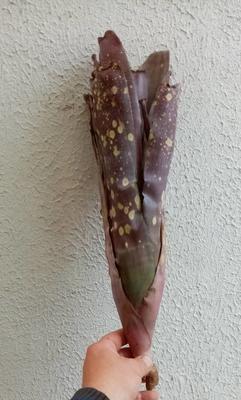 Quesnelia sp. (Rio Grande do Sul) - 1