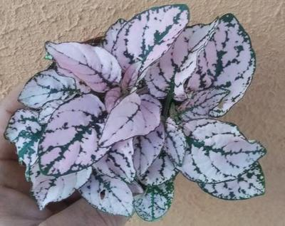 Hypoestes phyllostachya (růžová) - 1