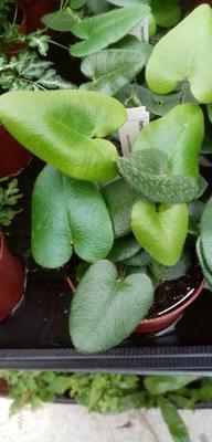 Hemionitis arifolia - 1
