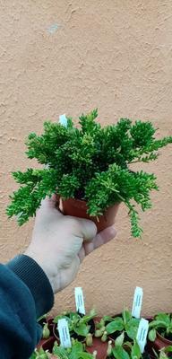 Rhipsalis mesembryanthemoides (velká rostlina) - 1