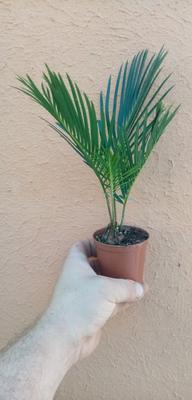 Cycas revoluta - 1