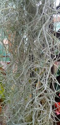 Tillandsia usneoides f. středně hrubá - 1