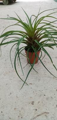 Tillandsia cyanea (nekvetoucí) - 1