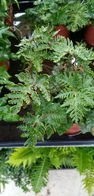 Doryopteris cordata (kapradina) - 1